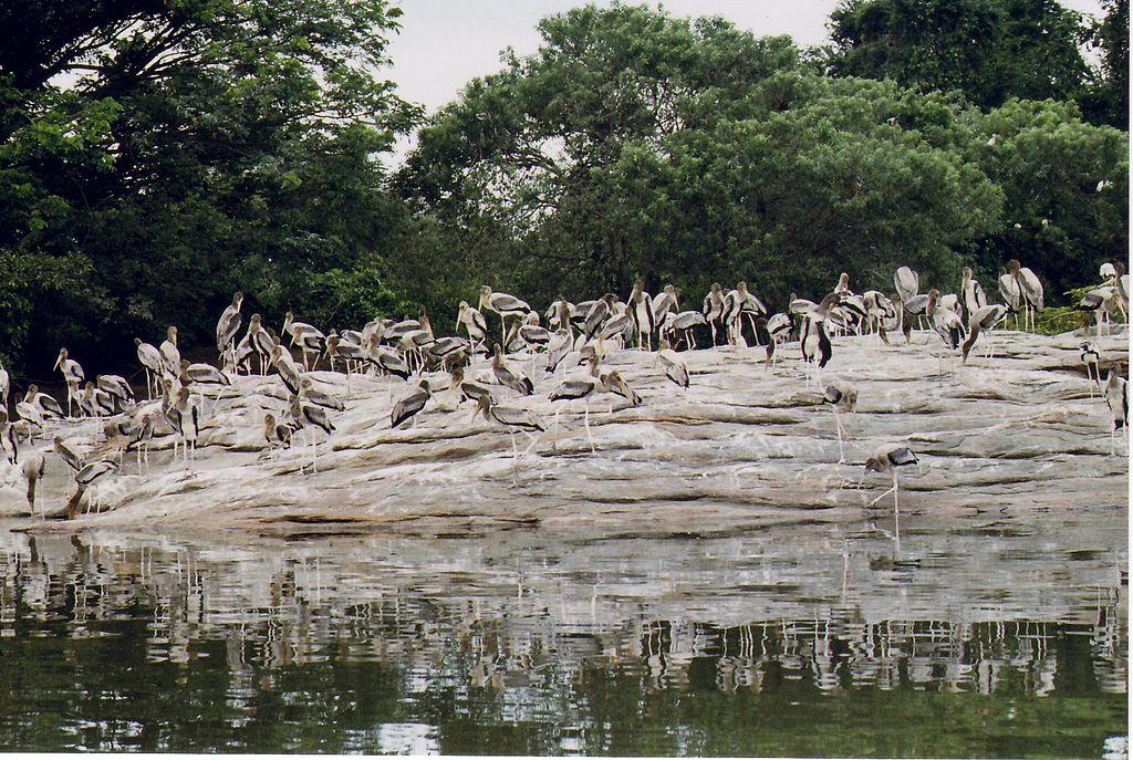 Painted Stork flock at Ranganathittu bird sanctuary
